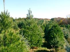 Image for Summers Christmas Tree Farm